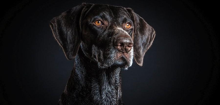 Jagdhund Deutsch Drahthaar fotografiert von Hundefotograf Nils Wiemer Wiemers mit Hensel Grand