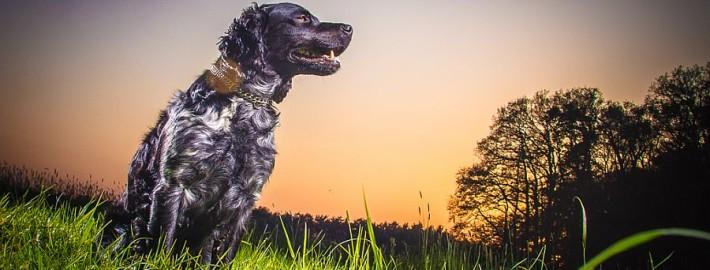 Epagneul Breton fotografiert von Hundefotograf Nils Wiemer Wiemers mit dem Hensel Porty