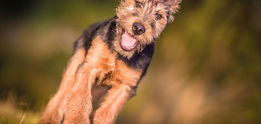 Terrier-Welpe-Hundefotograf